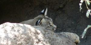 A Bobcat at the Desert Museum