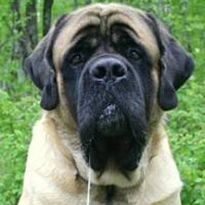 Mastiff | Learning from Dogs