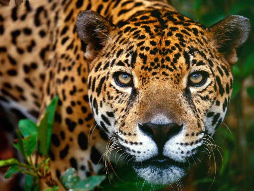 Jaguar-14