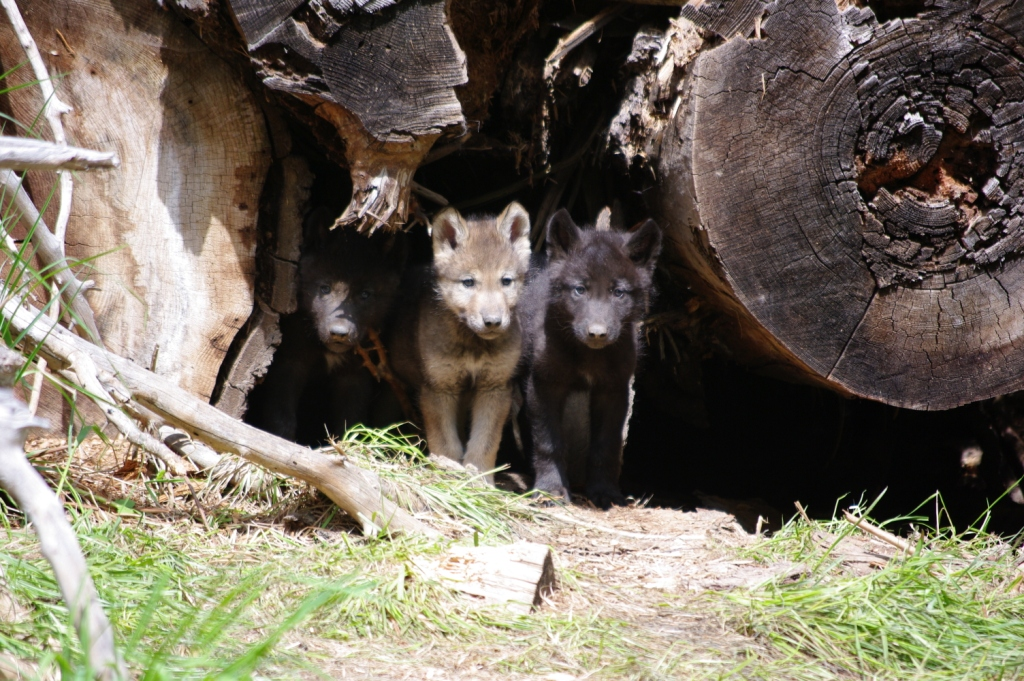 These wolf pups born to the Wenaha Pack in 2012 helped get recovery back on track. But their future remains tenuous (photo courtesy ODFW)