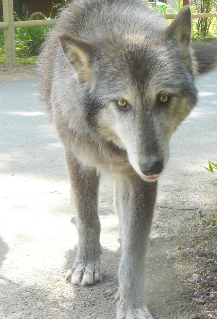 Wolf greets man.