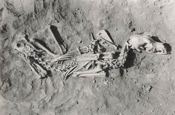 Photo - Robert Losey. The ancient dog was buried in a resting position. It was part of a study to directly test if there was a clear relationship between the practice of dog burial and human behaviors. The answer is yes.