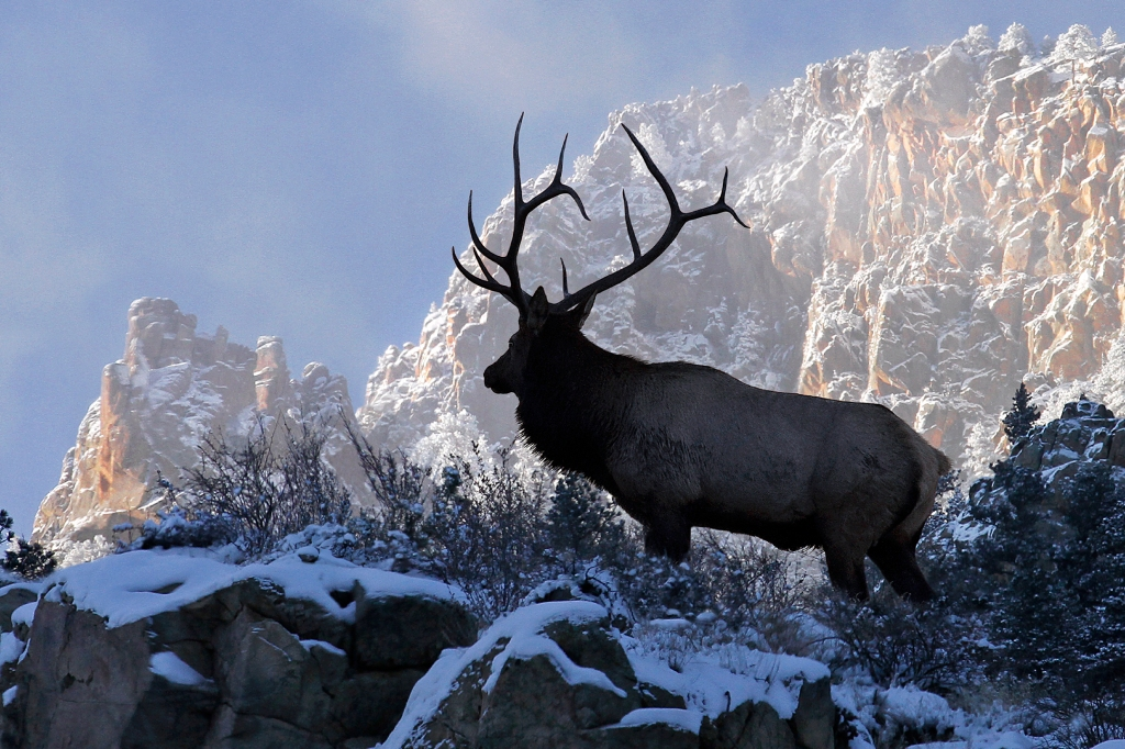 Bull Elk on top of the World.
