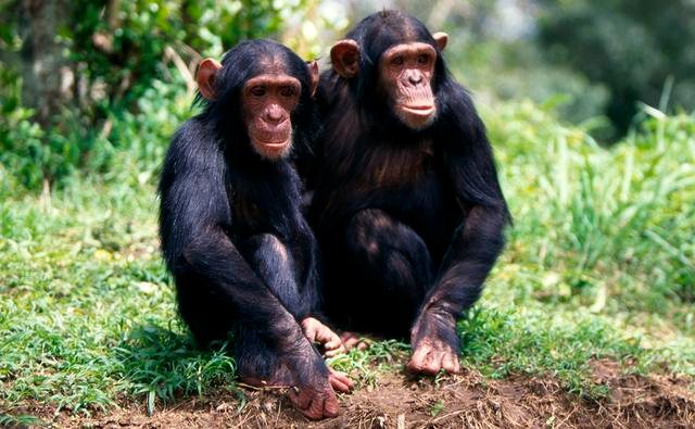 Emotions may have shaped the way great apes, including chimpanzees and bonobos, live.