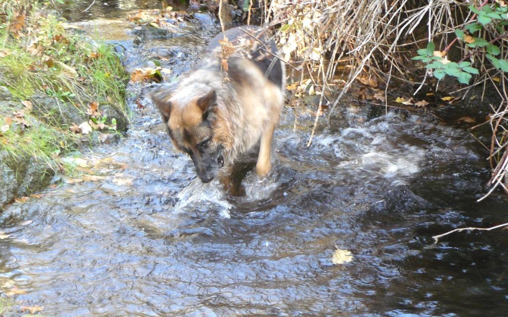 Pharaoh enjoying Bummer Creek.