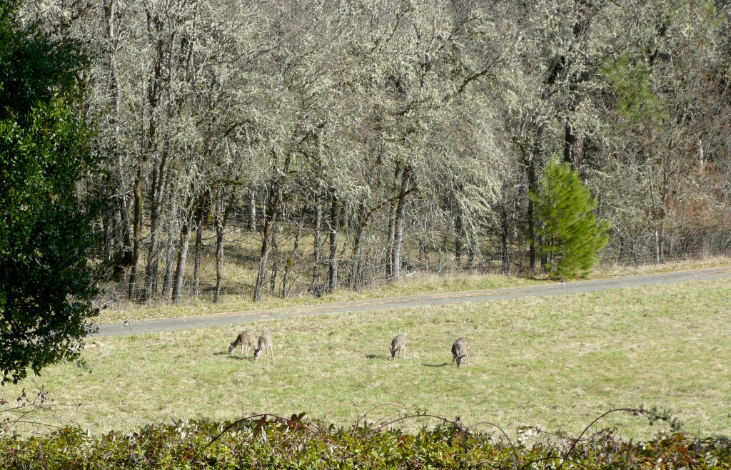 Wild deer feeding on the grass.