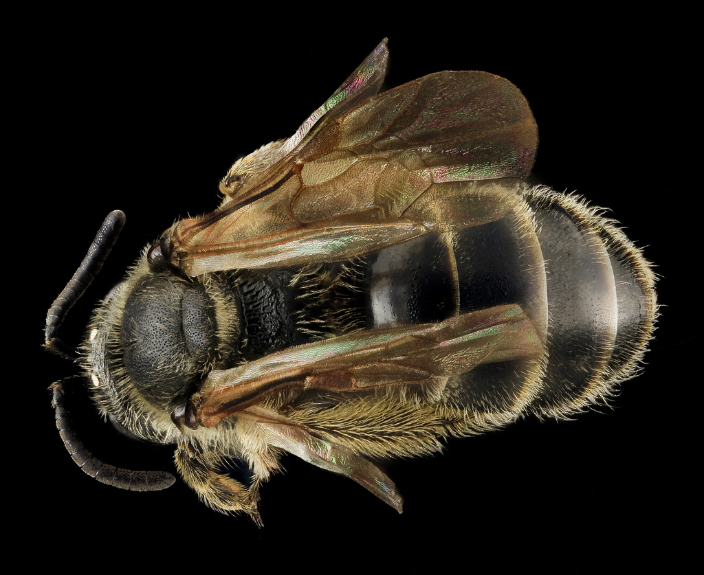 Lasioglossum quebecense, F, Back, MD, PG County_2013-07-24-15.43.07 ZS PMax