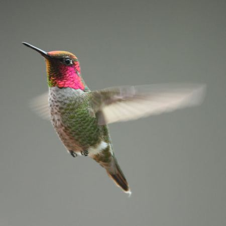 Fastest Wings, Fastest Brains. Anna Hummingbird California