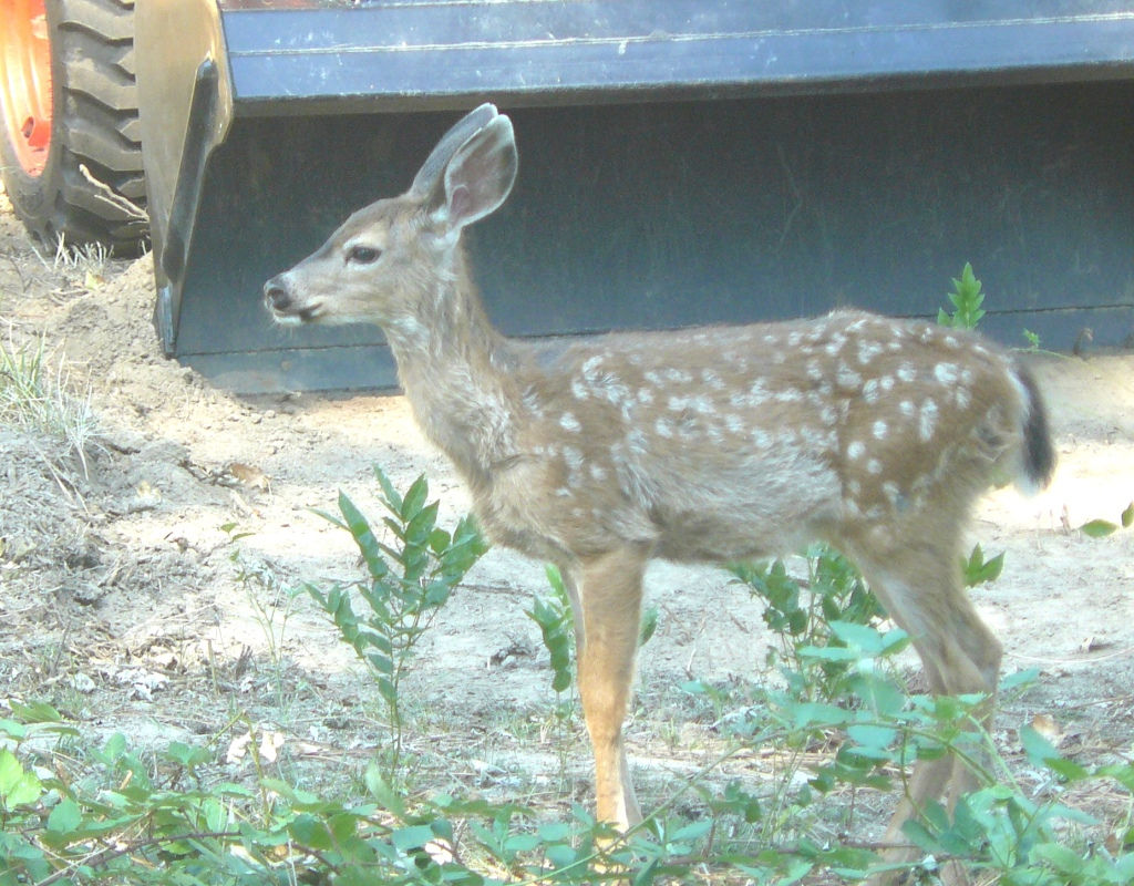 A young timid deer responding to me sitting quietly on the ground.