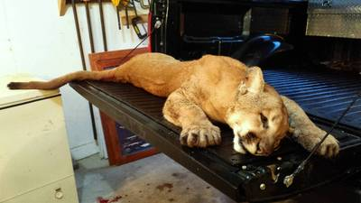 ILLINOIS DEPARTMENT OF NATURAL RESOURCESThis cougar was shot last week by a state conservation officer in Whiteside County. The animal needn't really have been killed.