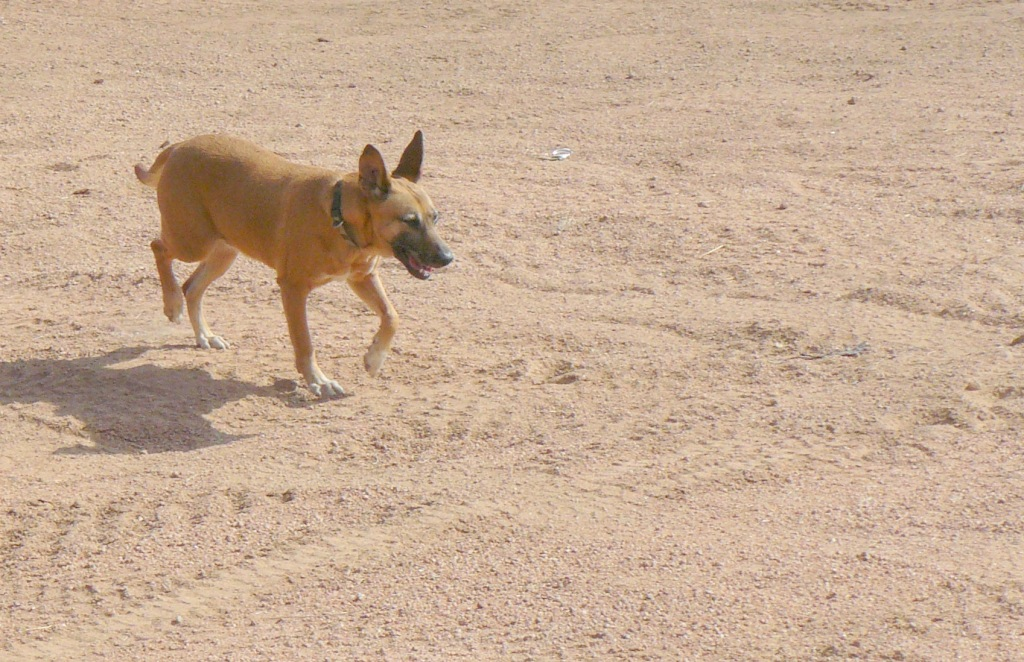 Dhalia - domesticated but still the wild dog shows through.