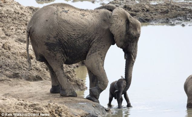 A mother's touch: Fortunately the calf's mother was able to scoop him up in her trunk and haul him to safety.