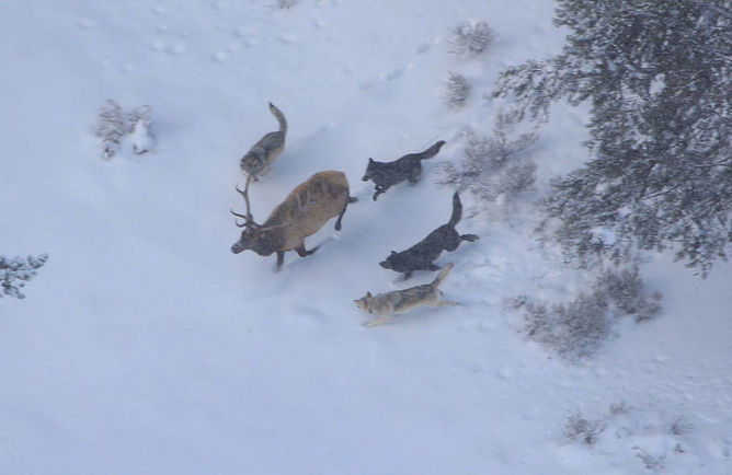 op carnivores, at work keeping things in check. Doug Smith