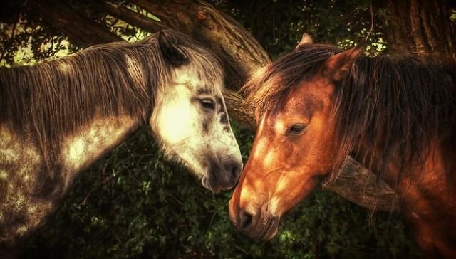 Cohen horses