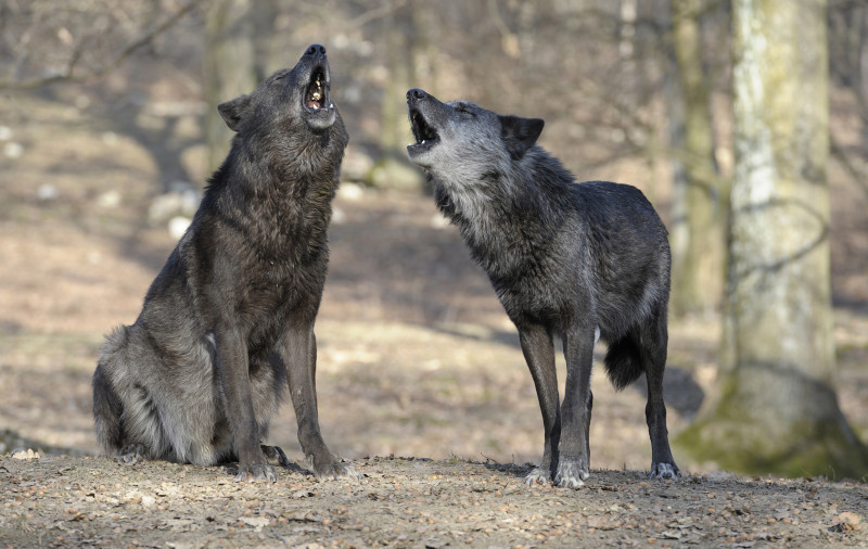 Wolves are considerably better imitators than dogs. Credit: Walter Vorbeck