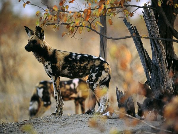 Known as African wild, painted, or Cape hunting dogs, these endangered canines closely resemble wolves in their pack-oriented social structure. Photograph by Chris Johns