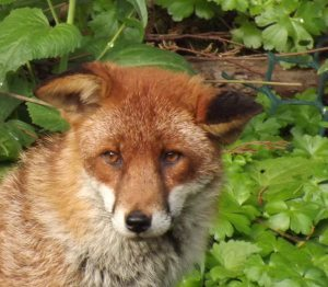 Amber the fox reflects the unpredictable face of nature showing up in my garden by surprise on random days.