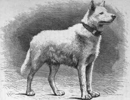 It Took Many Thousands Years To Breed Such Large Dogs From European Wolves.