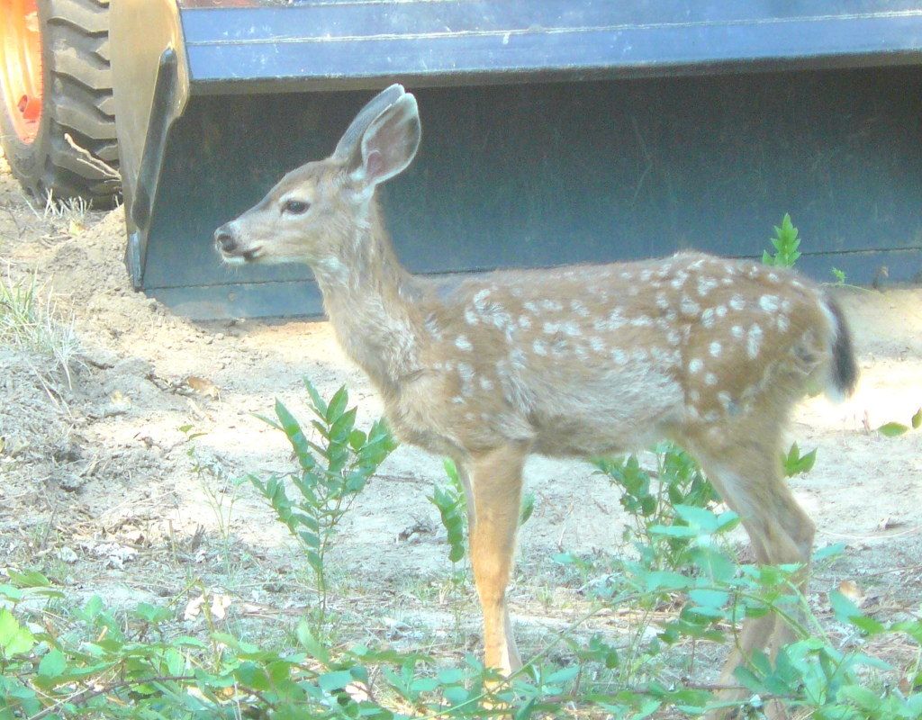 A young black-tailed deer seen at home last September.