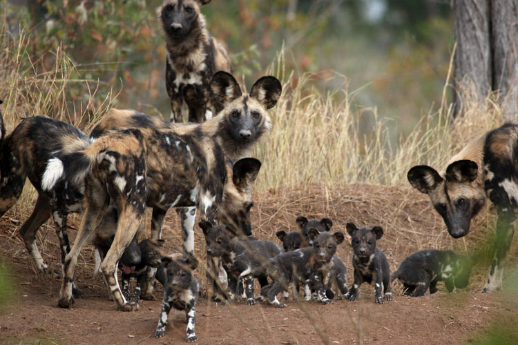 African wild dogs (Photo credit: Trent Binfold-Walsh)