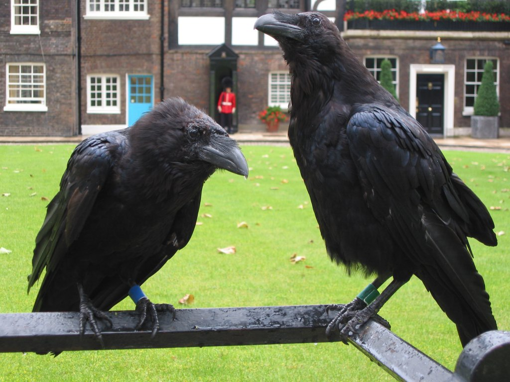 Dog Food For Crows