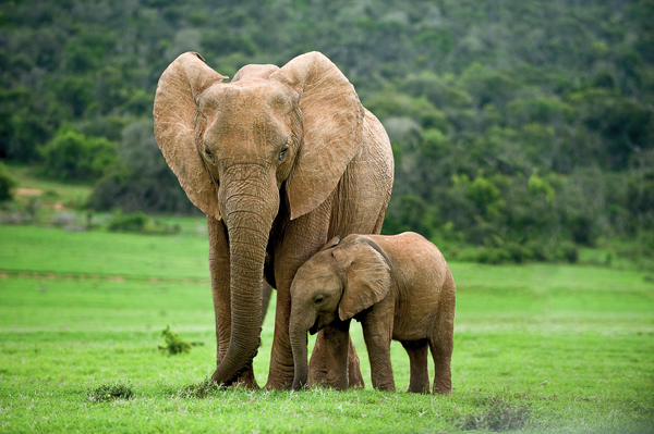 "Elephants and other large animals face an increased risk of extinction in what Stanford Biology Professor Rodolfo Dirzo terms ""defaunation."" (Claudia Paulussen/Shutterstock)"