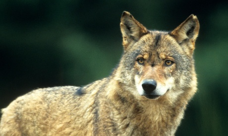 It has been estimated that there are now around 10,000 wolves in Europe. Photograph: tbkmedia.de/Alamy