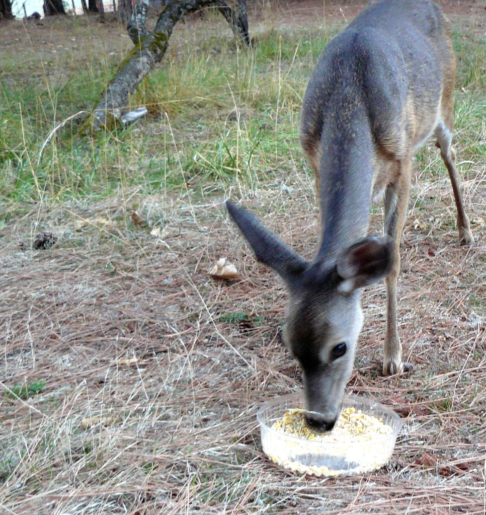 Mother deer reaches down to feed; the tray is about three feet in front of Jean and me.