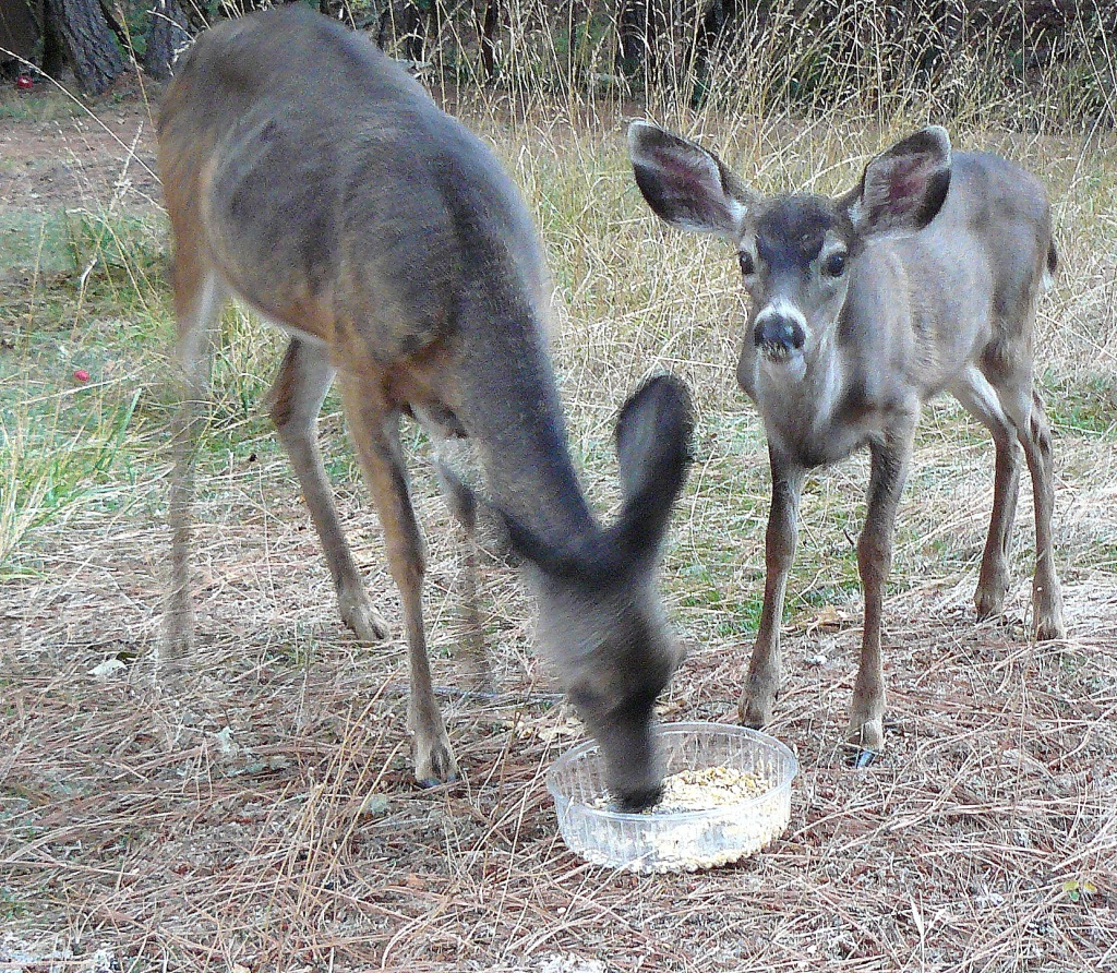 There was a rustle in the leaves some twenty feet away and we saw the fawn watching her mother feeding on the cob. Jean pushed the tray away, just by a few feet, and the fawn came right up to her mother.