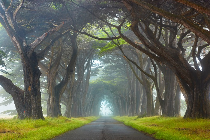 I was out to shoot the sunset at McClures Beach in Point Reyes, just north of San Francisco, but the fog became too thick. I knew about this row of trees on the way to the Point Reyes Lighthouse so I headed over there. I have been waiting for about 3 years for a misty foggy sort of day where I could capture this scene with some extra depth and light that you don't see without fog. Notice how the trees graduallt receed into the mist?  ... If you try this, walk the entire length of the path looking for the best composition. This was halfway down.