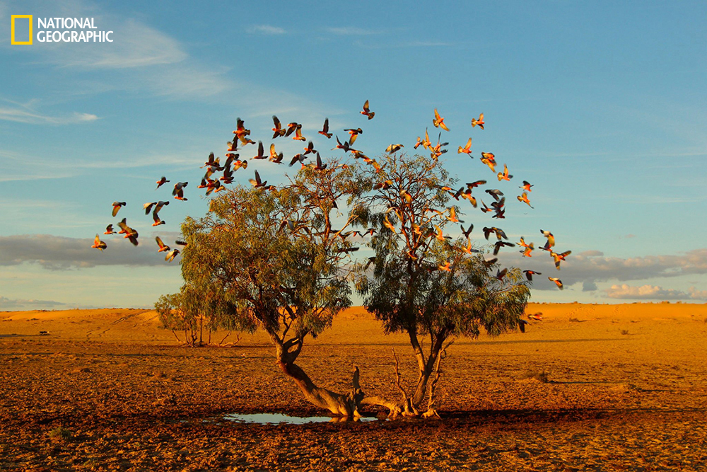 """In the Strezlecki desert of Australia, a flock of galahs replenish on the only small water available at the base of this lonely tree. It's a rare photo opportunity to get such a clear and symmetrical shot of these beautiful birds in flight in the middle of the desert."" Location: Strezlecki Desert, Australia."