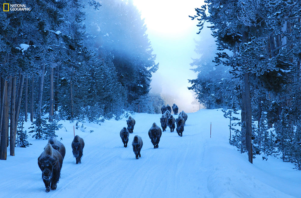 """""""An early morning ride through Yellowstone National Park in the winter is always a treat. On this very chilly morning, hardly a sound was heard as this herd of bison reminded us that we are the visitors in their land."""" Location: Yellowstone National Park, Wyoming, United States."""