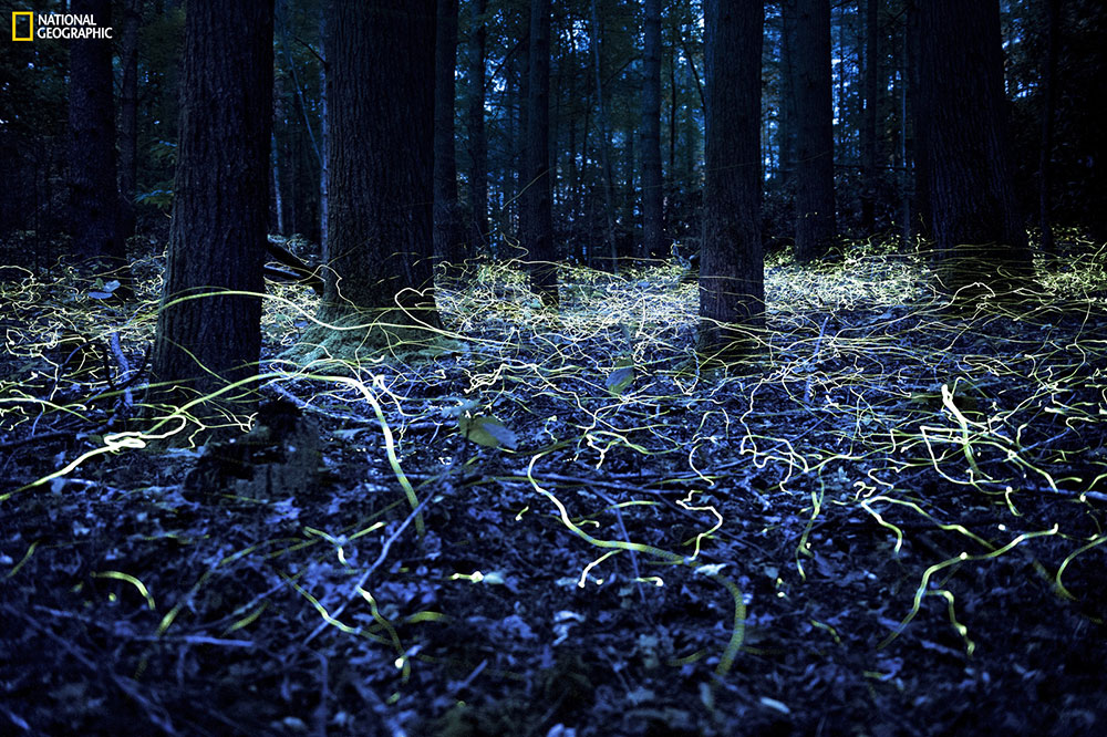 """""""Blue Ghost fireflies are unique because they stay lit and only hover about a foot off the ground."""" Location: Brevard, North Carolina. Photo by Spencer Black."""