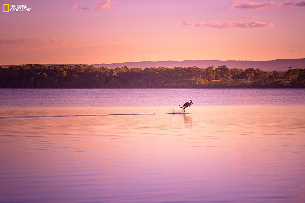 """""""I was finishing up a photo shoot when a wild kangaroo appeared out of nowhere and bounded onto the lake, as if walking on water. This, along with the picturesque sunset combined to create an absolute visual treat!"""" Location: Noosa, Queensland, Australia."""