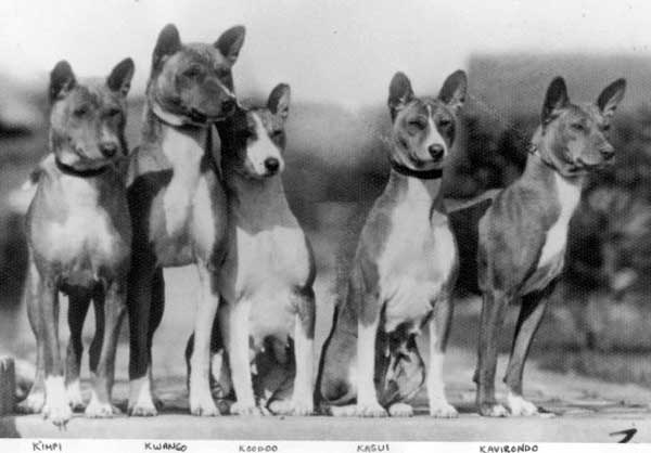 The paper did not include a picture of Baa dogs but a web search found the one above. Source:https://www.basenji.org/BasenjiU/Owner/103History/103History.html