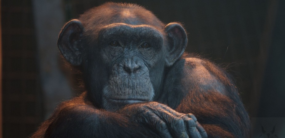Should primates such as chimpanzees be given rights normally reserved for humans? phil/Flickr, CC BY-NC-SA