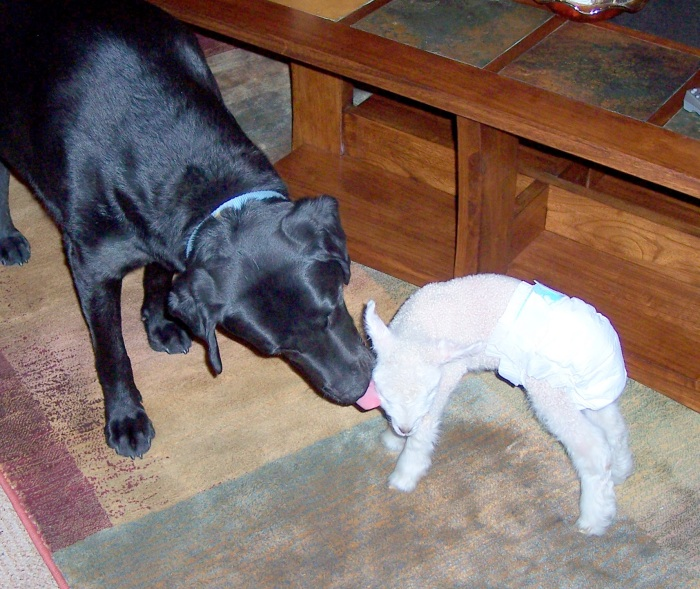 Clyde cleaning Pearl the lamb.