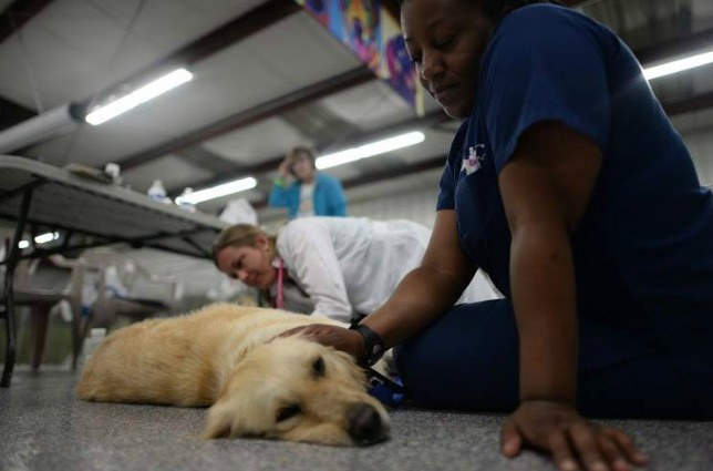 A golden retriever is examined in Atlanta after arriving from Turkey. (Photo: Adopt a Golden Atlanta)