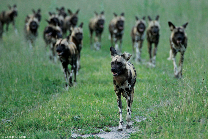 Group of wild dogs from a photograph taken by George Lepp.