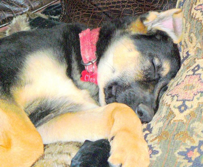 Picture taken of puppy Cleo on the 13th April, 2012 when she was then aged 11 weeks.