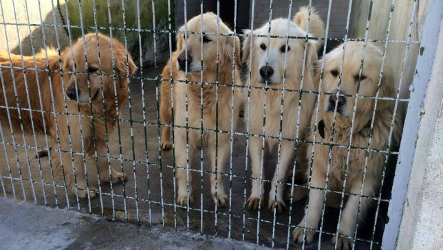 Golden retrievers are packed into an animal shelter in Turkey before being rescued and flown to Atlanta. (Photo: Adopt a Golden Atlanta/Facebook)