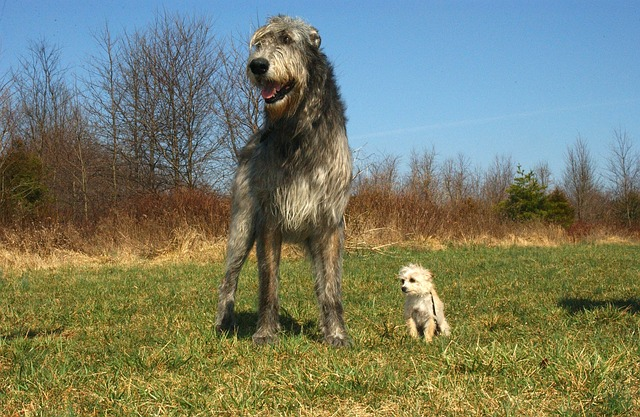 the irish wolfhound  u2013 a guest post   u2013 learning from dogs