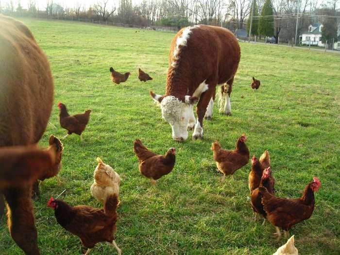 free-range-chicken1