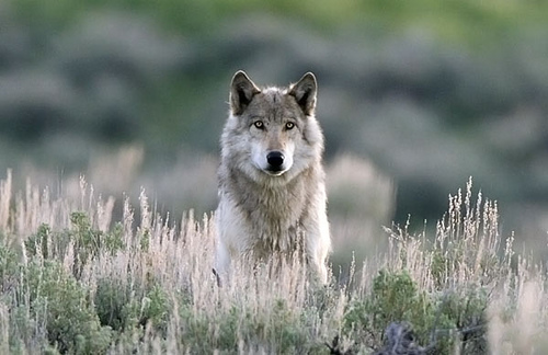 The long-awaited return of the Yellowstone wolf!