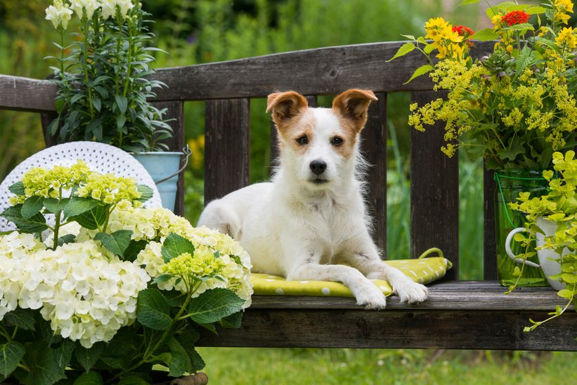 Be sure to double check if the plants you're adding to your garden are toxic to dogs. While some dogs stay out of the plants, others may munch on anything they feel like, which could lead to a trip to the vet's office. (Photo: Dora Zett/Shutterstock)