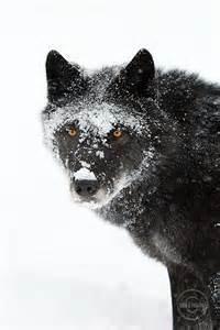a-wolf