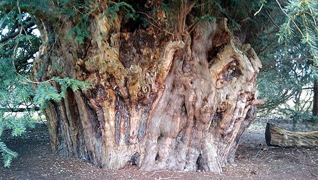 The Ankerwycke yew is estimated to be between 2,000-2,500 years old. (Photo: Wiki Creative Commons)