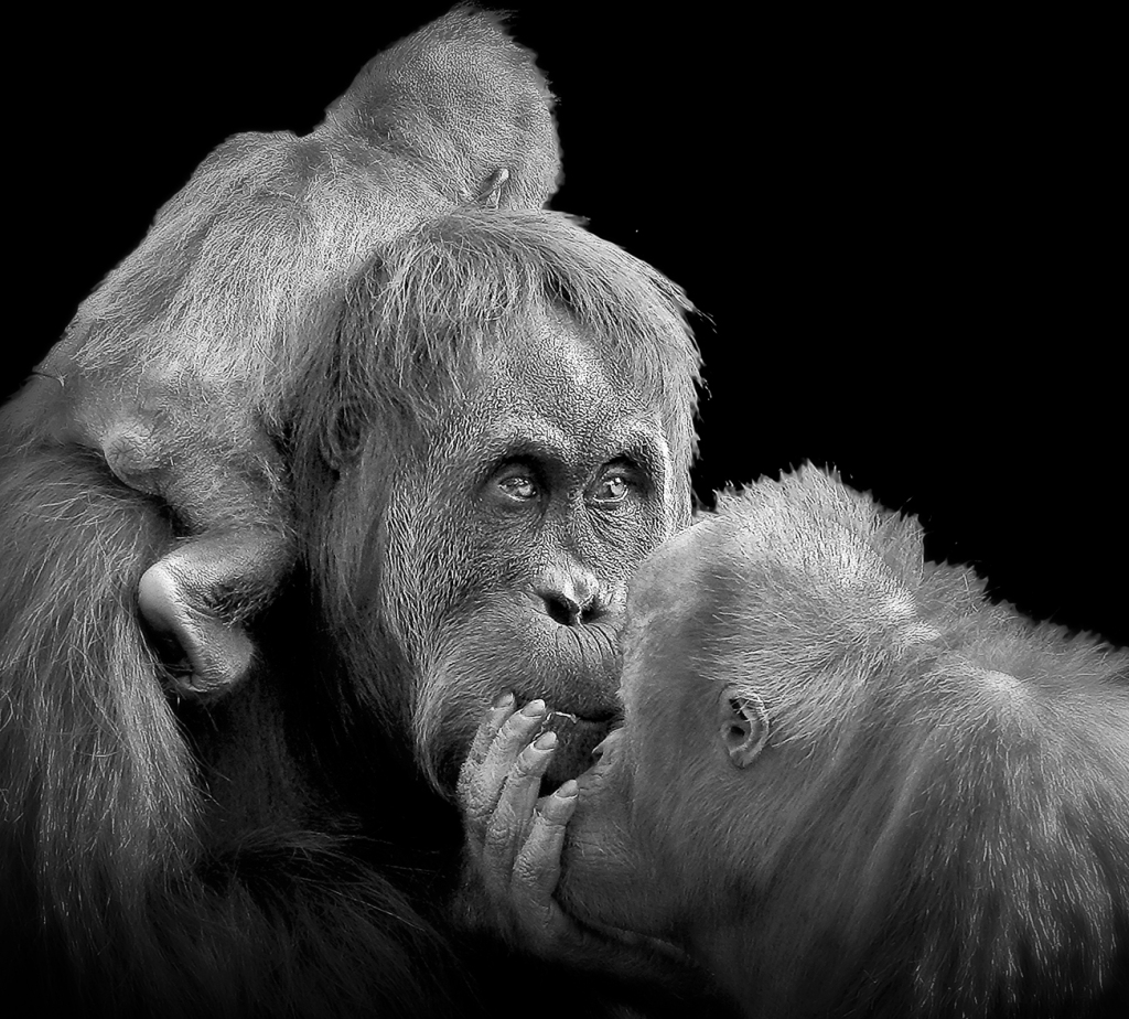Orangutan mother and kids. By Patrick Bouquet, Chantilly.