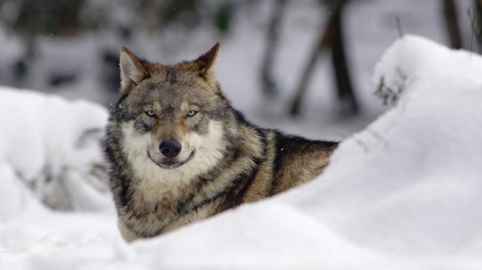 Crazy smart, like a wolf. (Kaphoto/iStock)