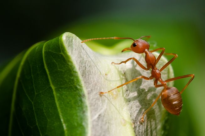 Weaver ants can not only protect tree crops from pests, but may also benefit the quality of produce. (Photo: Rushen/Flickr)